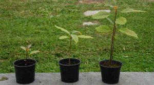 Plantas de aguacate